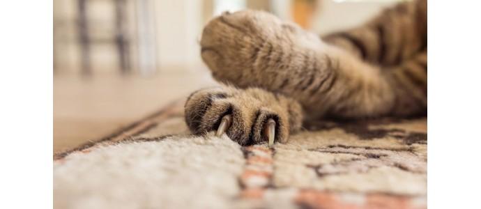 Usuwanie pazurów u kota - cała prawda o brutalnym, niehumanitarnym zabiegu, prowadzącym do trwałego okaleczenia zwierzęcia.
